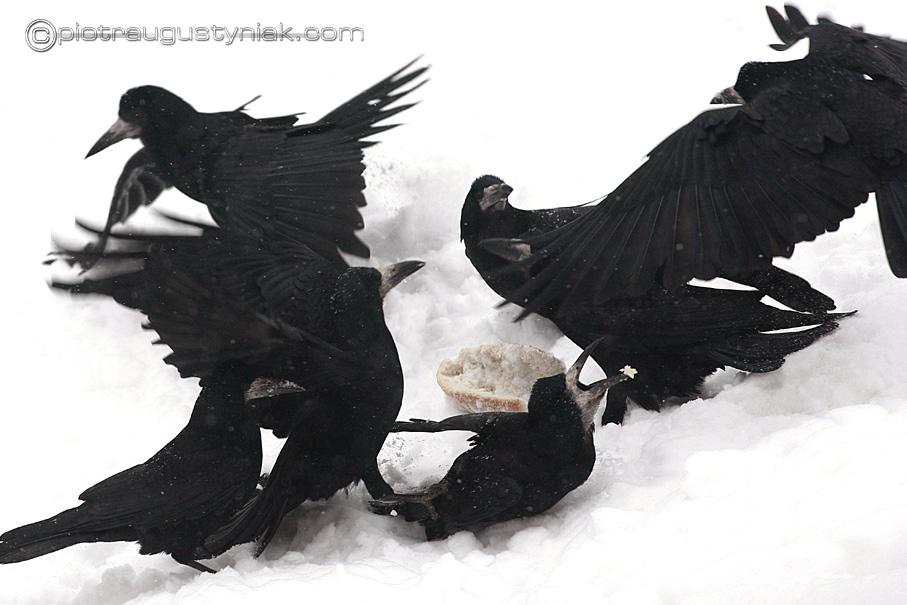 Fotograf płock zima warszawa łódź zdjęcia przyrody ptaki gawrony walczą o pokarm fotoreportaże Piotr Augustyniak